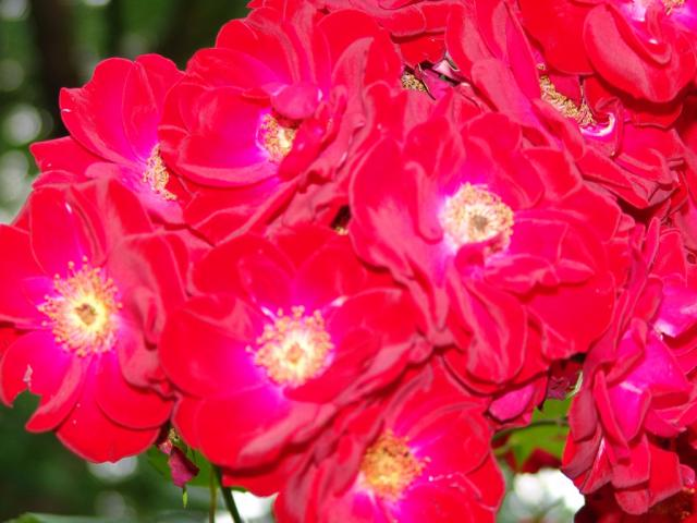 Wandtattoo Rote Blumen : Pin Blumen Rote Blüten on Pinterest